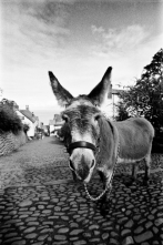Clovelly Donkey