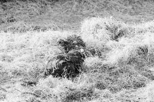 Dog in Hay